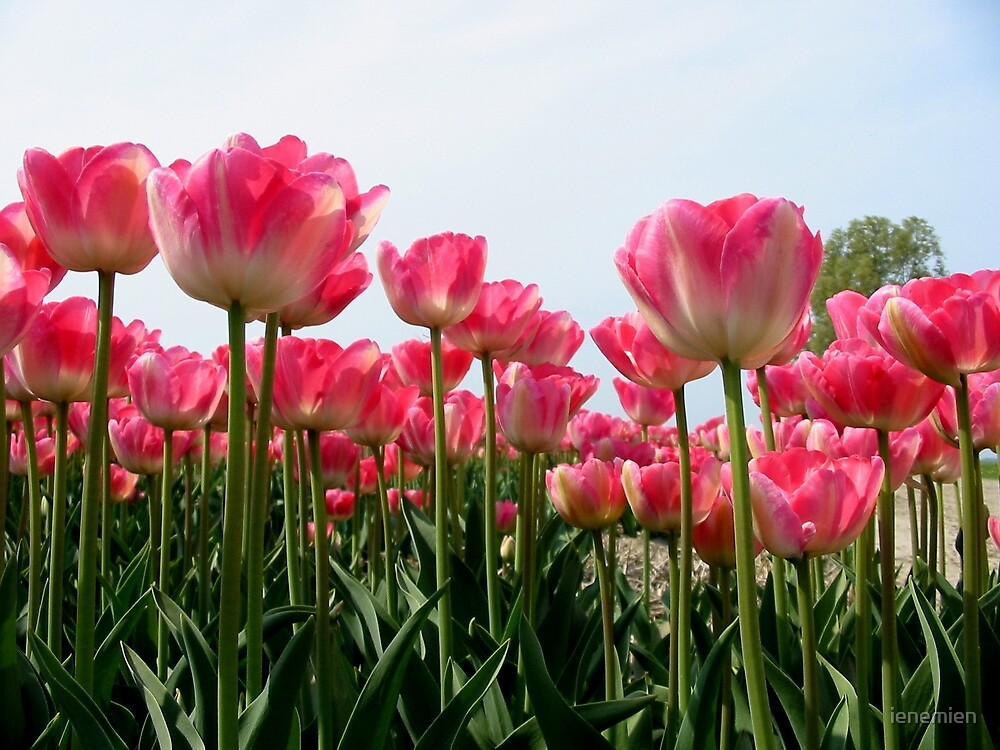 Pink Tulips by ienemien