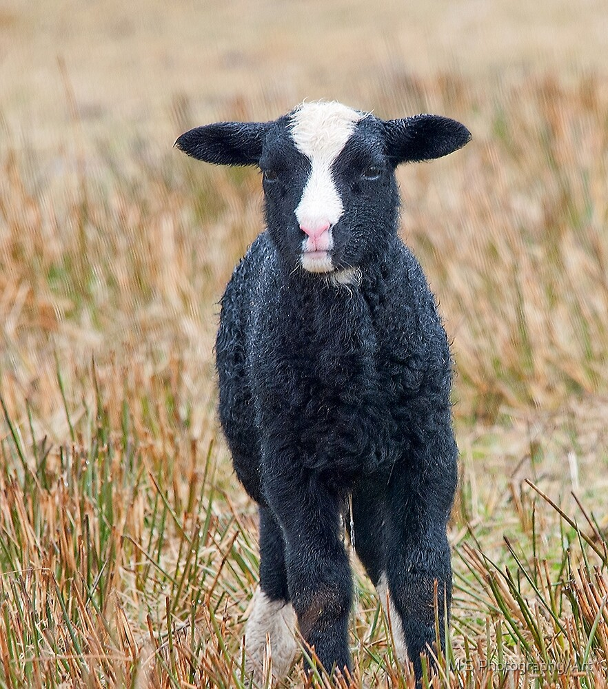 Saeftinger Lamb by M.S. Photography/Art