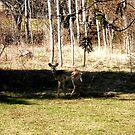 Deer, Ottawa, Canada by Shulie1