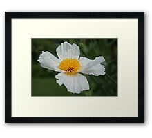 Wild white poppy Framed Print