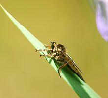 robberfly by davvi