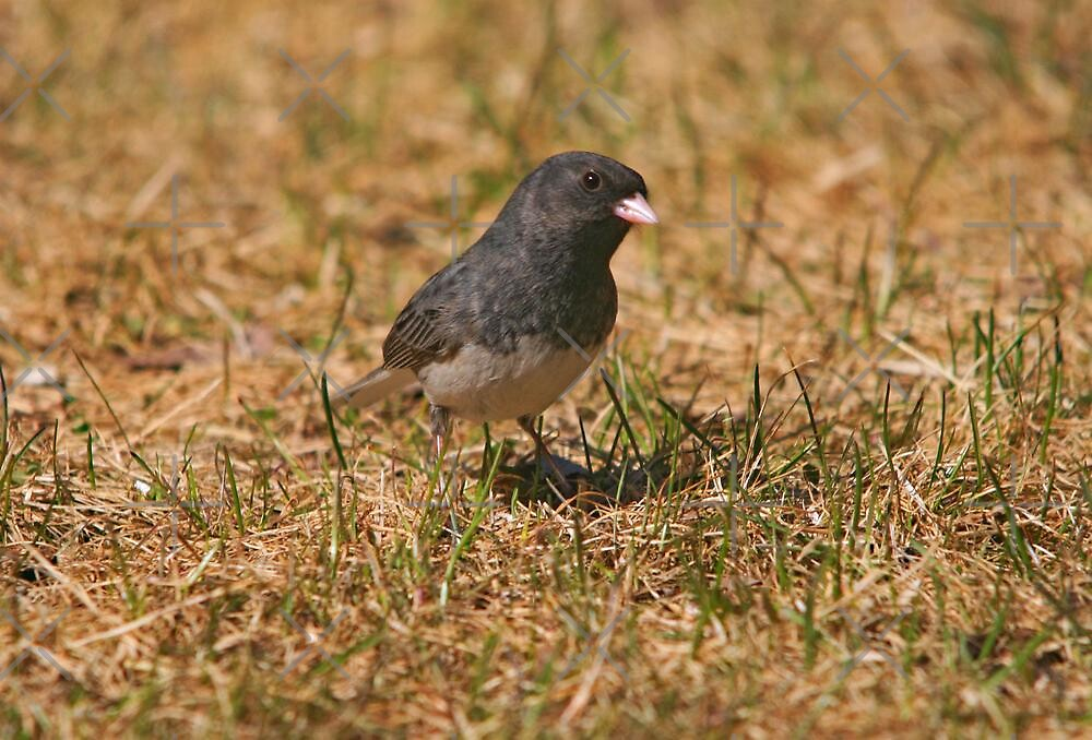 Slate-Colored Junco by Vickie Emms