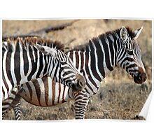 Plains Zebra,  Serengeti National Park, Tanzania  Poster