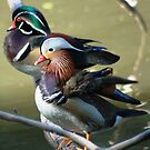 Wooden and mandarin ducks (males)  by Meeli Sonn