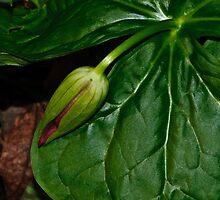 The Awakening - Melanthiaceae by jules572