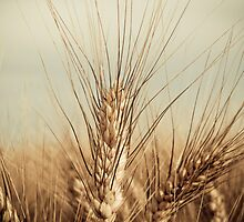 Wheat... by pacoespinoza