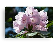 Pleasantly Pink Rhodo for Prince William & His Bride Kate... Canvas Print