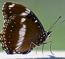 Crow Butterfly by Heather Walker