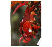 Angel Wings Begonia Leaves Poster