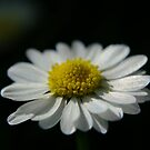 Easter Daisy by TriciaDanby