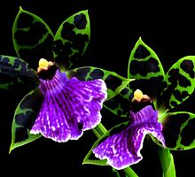 orchid twins by bigzed
