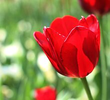 impressions of a red tulip by bigzed