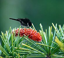 pine cone by Joyce Knorz