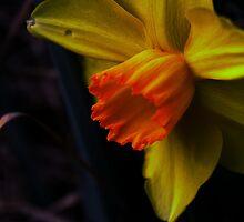 Daffodil by guppyman