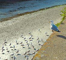 Harbour Gull by lightmonger