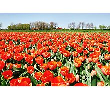 Tulips from Flakkee..... Photographic Print