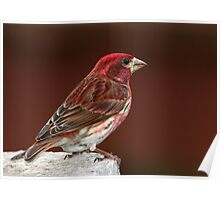 Purple Finch On Red Poster