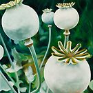 Poppy Heads - oil painting of green poppy heads by James  Knowles