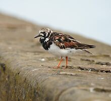 Turnstone on Bridlington Harbour Wall, Yorkshire, England. by James1980