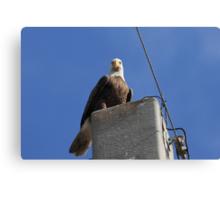 The Bald Eagle Stare Canvas Print