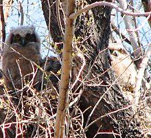 Three baby Great Horned Owls by Dave Sandersfeld