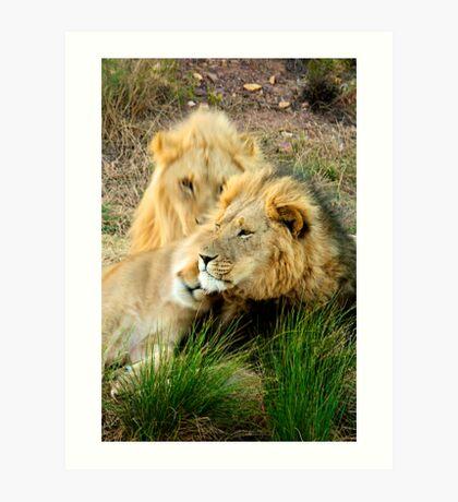 Poignant leader - Lion, South Africa Art Print