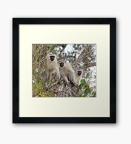 The Three Monkeneers Framed Print