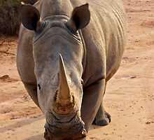 White Rhino - Cape Town, South Africa by Phil McComiskey