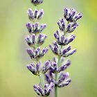 Vintage Lavender by OpalFire