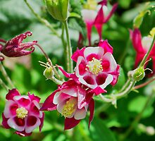 Red Columbine by James Brotherton