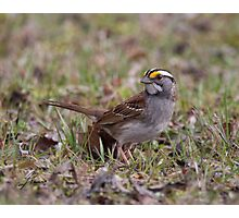 White-throated Sparrow 02 Photographic Print