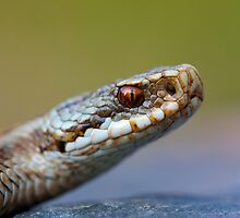 Adder by Angi Wallace