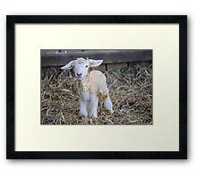 New Born Lamb Framed Print