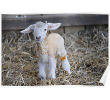 New Born Lamb Poster