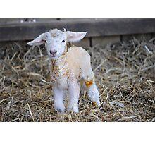 New Born Lamb Photographic Print