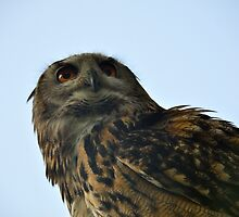 Eagle Owl watching by Steve