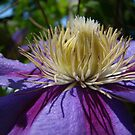Clematis Profile~ by Virginian Photography (Judy)