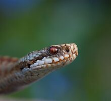 Adder and bluebells by AngiNelson