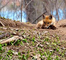 Kit Fox with Chew Toy by Thomas Young