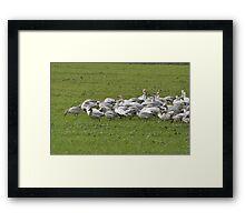 Snow Geese Skagit, Washington Framed Print