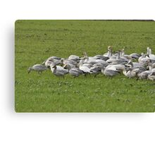 Snow Geese Skagit, Washington Canvas Print