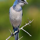 Inqisitive Look- Florida Scrub-jay by Tom Dunkerton