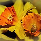Gold and Gorgeous Daffodils by wallarooimages