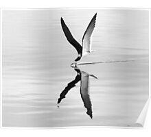 Black skimmer Skimming-black & white Poster