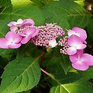 Hydrangea Beauty by mussermd