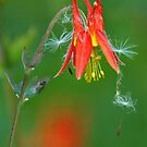 Alaska Columbine by Nick Boren