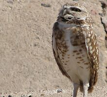 Burrowing Owl ~ Sky Scanning by Kimberly Chadwick