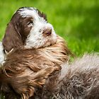 Brown Roan Italian Spinone Puppy Head Shot by heidiannemorris