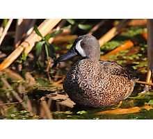 Blue-winged Teal Photographic Print