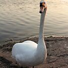 Swan at Sunset by Mike Topley